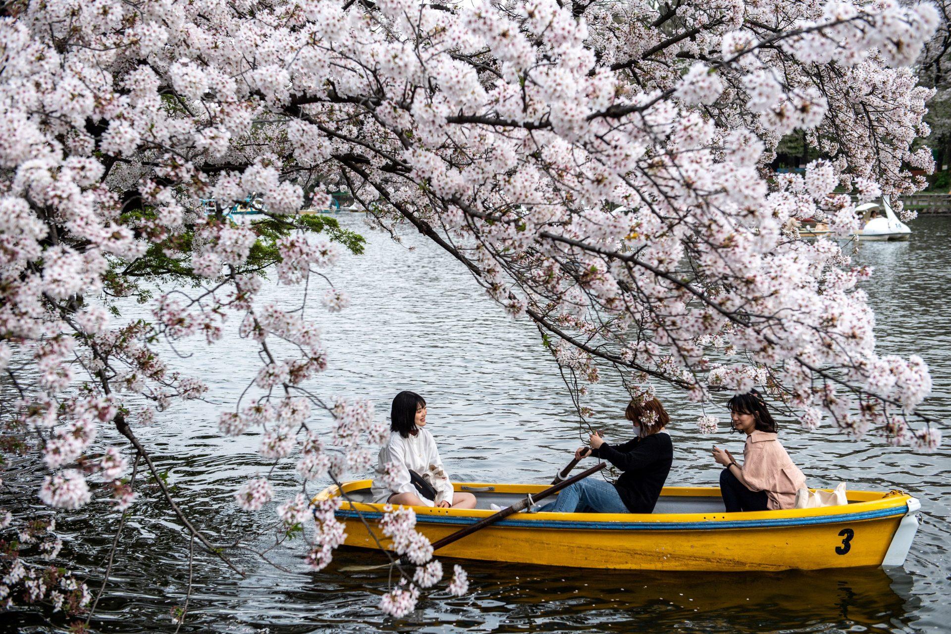 Japończycy podczas podróży łodzią w czasie kwitnienia wiśni