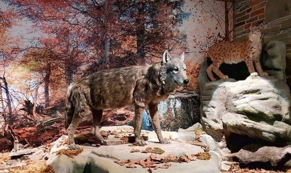 Ekspozycja przyrodnicza ssaki drapieżne w Gorczańskim Parku Narodowym
