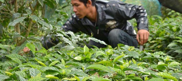 Plantacja kawy w Tajlandii