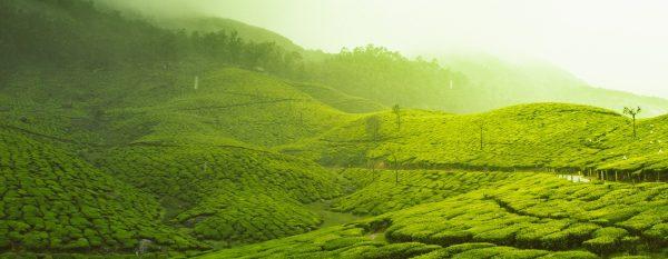 Uprawy herbaty w Indiach